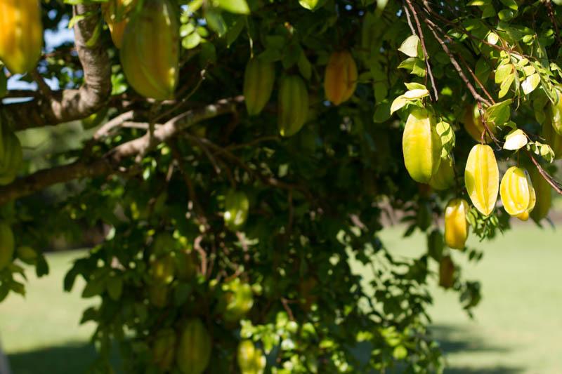 Starfruit tree