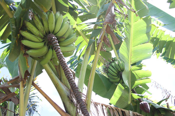 home grown bananas, Oahu